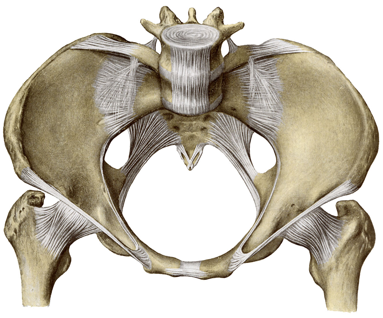 lacunar ligament - photo #30